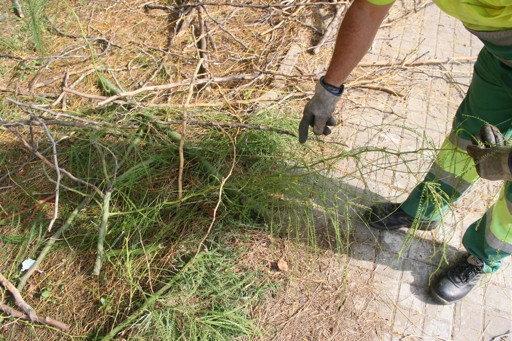 Las púas de la parkinsonia evolucionaron como defensa del árbol ante los depredadores africanos.