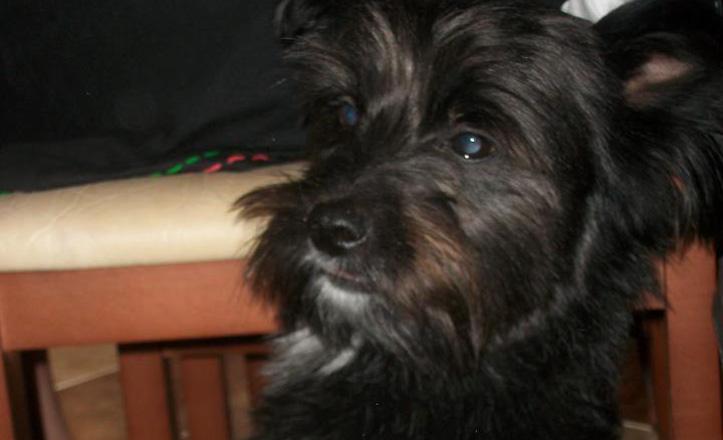 Kuqui es un cruce de bichón maltés con yorkshire, es negro y de estatura mediana