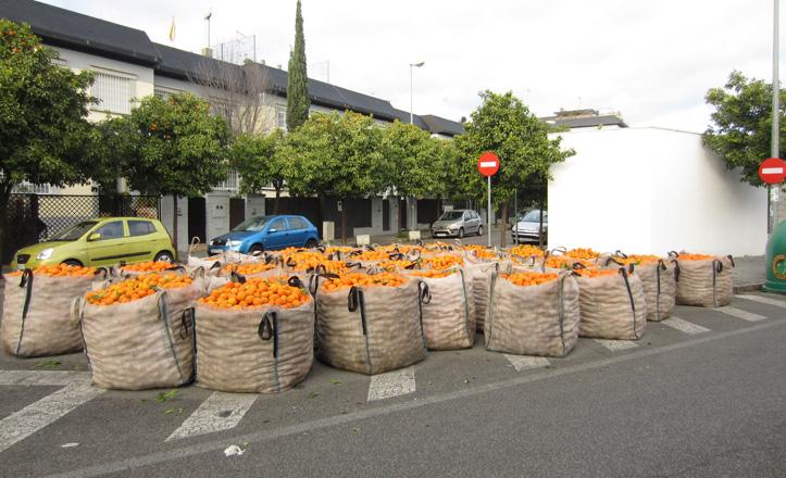 Apilados los sacos de naranjas recogidas en calles de La Palmera