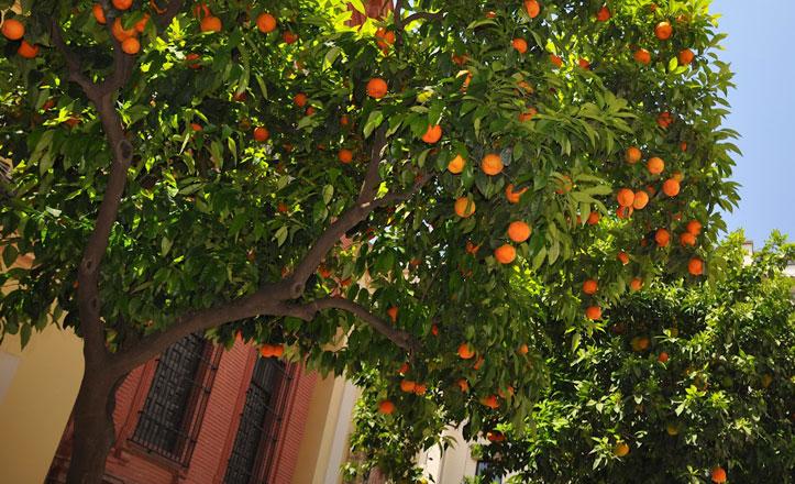 recogida-naranjas-cerro