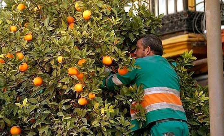recogida-naranjas-sevilla