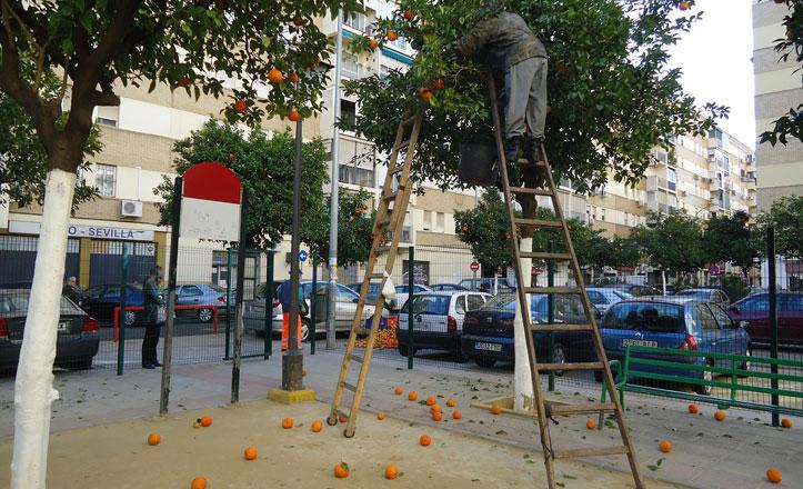 Más de 1.000 kilos de naranjas recogidas en la Macarena