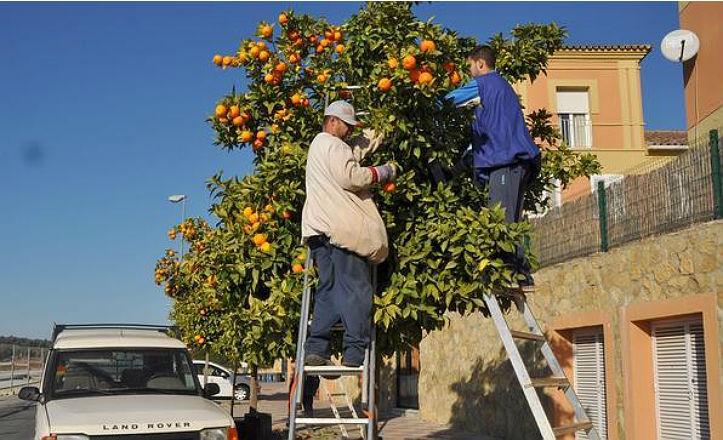 Recogida de naranjas amargas