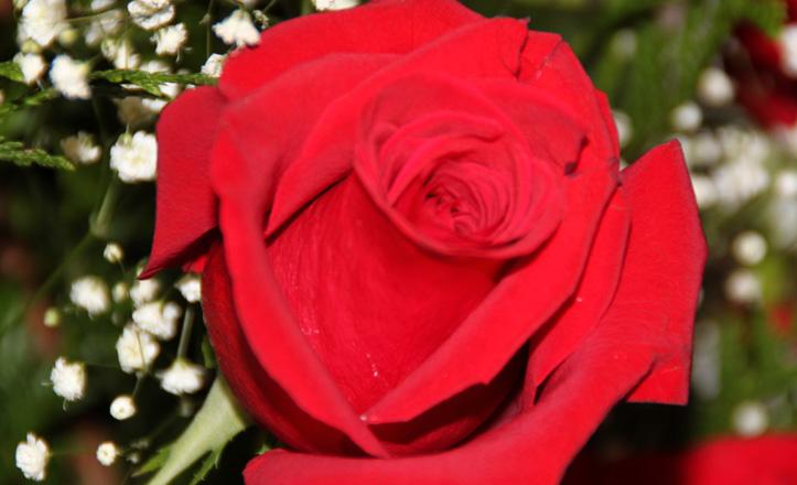 Plano detalle de una rosa