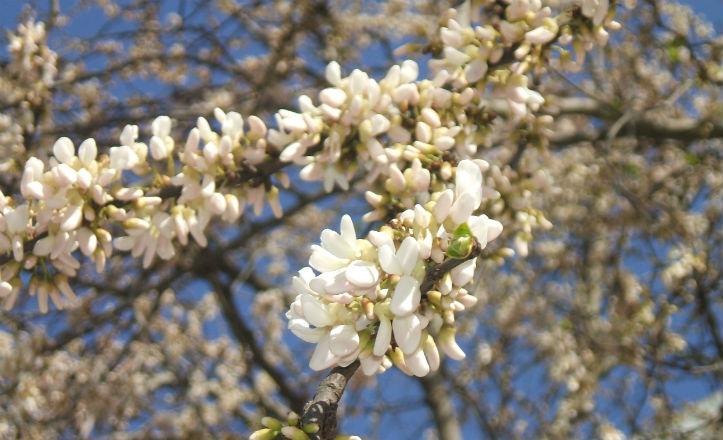 Árbol del amor de las flores blancas