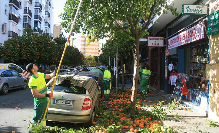 Operarios recogen las naranjas agrias de la calle Venecia