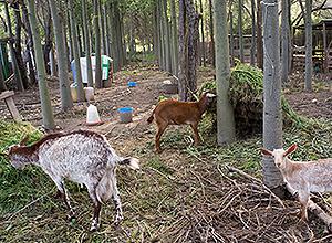 cabras en san jerónimo