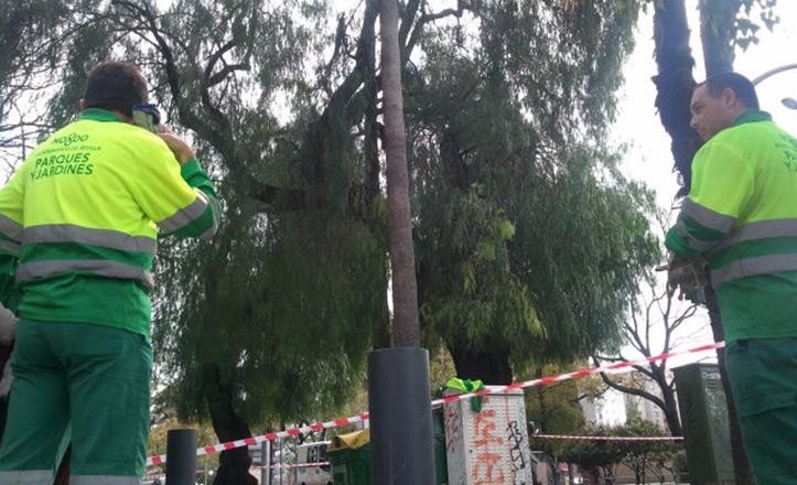 Parques y jardines ejecuta el desmochado de las palmeras de Eduardo Dato