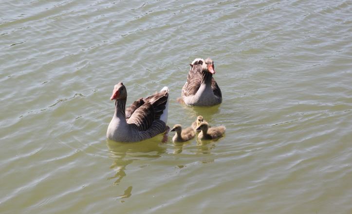 Los gansos nadando en el lago
