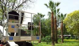 Poda de las palmeras del Parque Amate