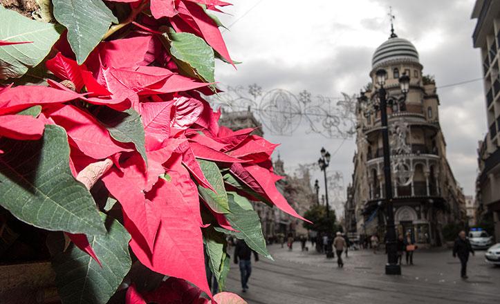 flor-pascua-navidad