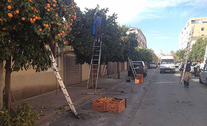 recogida-de-naranjas-hacienda-san-antonio