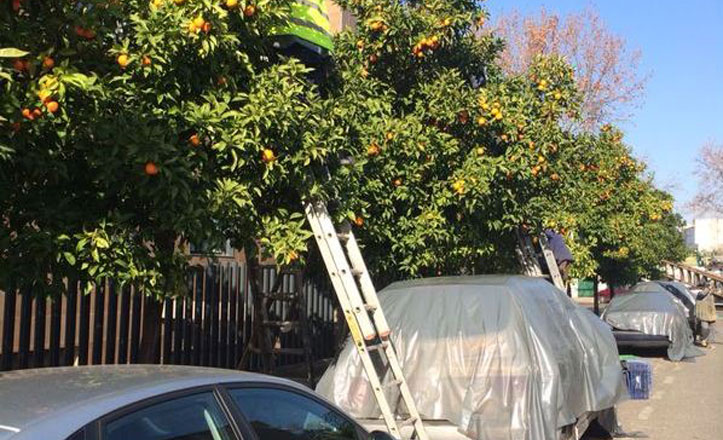 Comienza la recogida de la naranja amarga en Bellavista-La Palmera