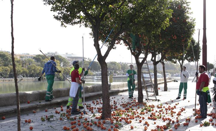Más de 70.000 kilos de naranjas recogidas en Triana