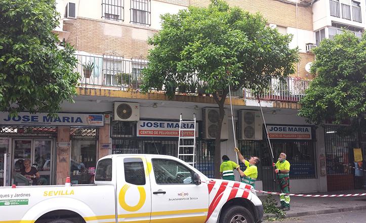 Poda de naranjos en la calle de León XIII.