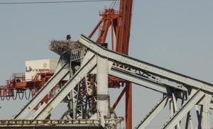 Las cigüeñas anidan en el Puente de Alfonso XIII