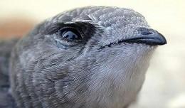 Vencejo pálido / Aves granatenses