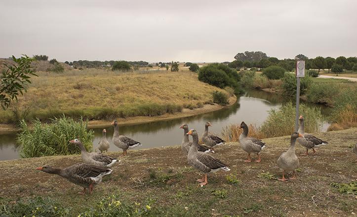 Vista general de la laguna del Parque Tamarguillo, habitada por una treintena de ánsares / Fran Piñero