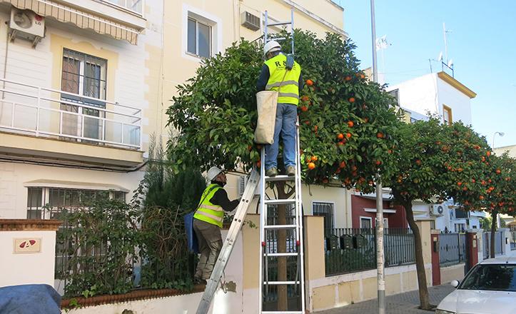 Recogida de naranja agria en el Distrito San Pablo-Santa Justa
