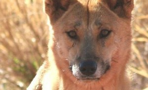 Dingo australiano en libertad